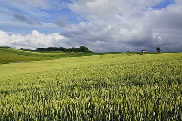 Common Wheat (Triticum aestivum) fields, Hokkaido, Japan  -  Hiroya Minakuchi