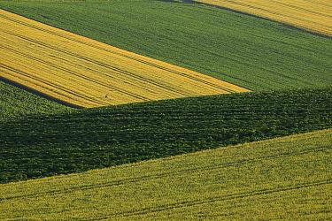 Common Wheat (Triticum aestivum) field, Hokkaido, Japan  -  Hiroya Minakuchi