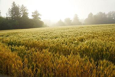 Common Wheat (Triticum aestivum) field in morning mist, Hokkaido, Japan  -  Hiroya Minakuchi