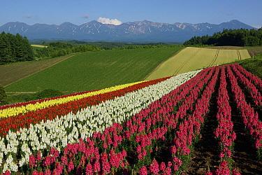 Garden Snapdragon (Antirrhinum majus) flower crop field, Hokkaido, Japan  -  Hiroya Minakuchi