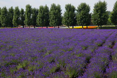 Lavender (Lavandula sp) field in flower, Japan  -  Hiroya Minakuchi