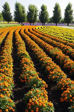 Flower crop, Hokkaido, Japan  -  Hiroya Minakuchi