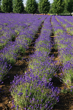 Lavender (Lavandula sp) herb crop in flower, Japan  -  Hiroya Minakuchi