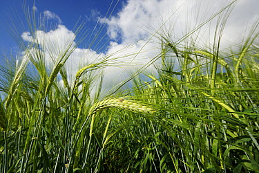 Two-rowed Barley (Hordeum vulgare) field, Hokkaido, Japan  -  Hiroya Minakuchi
