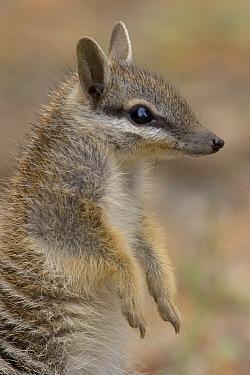 Numbat (Myrmecobius fasciatus), Australia  -  Luc Hoogenstein/ Buiten-beeld
