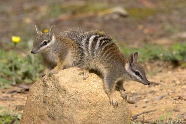 Numbat (Myrmecobius fasciatus) pair, Australia  -  Luc Hoogenstein/ Buiten-beeld