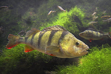 English Perch (Perca fluviatilis) with perch and whitefish in an aquarium, Belgium  -  Jelger Herder/ Buiten-beeld
