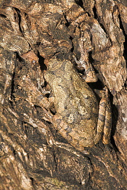 Grey Tree Frog (Chiromantis xerampelina) camouflaged against tree bark, iSimangaliso Wetland Park, South Africa  -  Jelger Herder/ Buiten-beeld