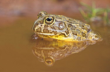 Edible Bullfrog (Pyxicephalus edulis), UMkhuze Game Reserve, South Africa  -  Jelger Herder/ Buiten-beeld