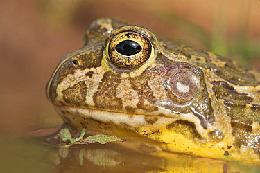 Edible Bullfrog (Pyxicephalus edulis) showing ear, UMkhuze Game Reserve, South Africa  -  Jelger Herder/ Buiten-beeld