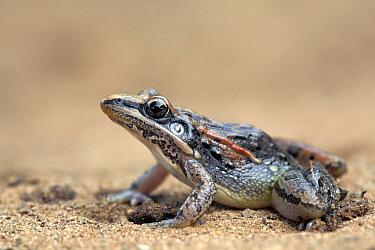 Striped Grass Frog (Ptychadena porosissima), iSimangaliso Wetland Park, South Africa  -  Jelger Herder/ Buiten-beeld
