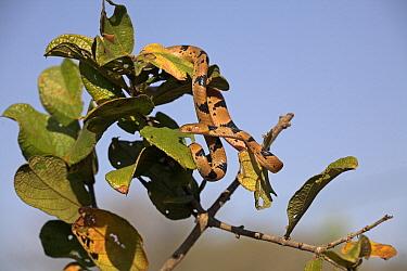Tiger Cat Snake (Telescopus semiannulatus), iSimangaliso Wetland Park, South Africa  -  Jelger Herder/ Buiten-beeld