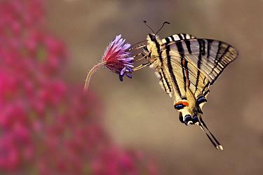 Scarce Swallowtail (Iphiclides podalirius) butterfly, Samos, Greece  -  Misja Smits/ Buiten-beeld