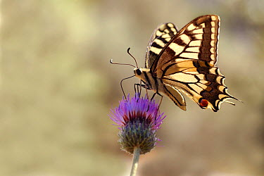 Oldworld Swallowtail (Papilio machaon) butterfly, Samos, Greece  -  Misja Smits/ Buiten-beeld