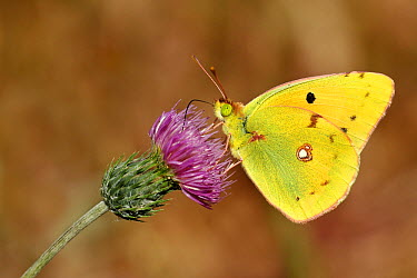 Clouded Yellow (Colias croceus) butterfly, Samos, Greece  -  Misja Smits/ Buiten-beeld