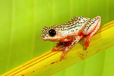 Painted Reed Frog (Hyperolius marmoratus), iSimangaliso Wetland Park, South Africa  -  Jelger Herder/ Buiten-beeld