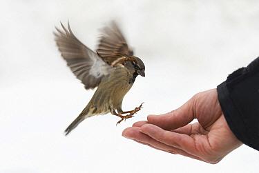 House Sparrow (Passer domesticus) male being hand-fed, Vienna, Austria  -  Misja Smits/ Buiten-beeld