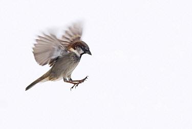 House Sparrow (Passer domesticus) male, Vienna, Austria  -  Misja Smits/ Buiten-beeld