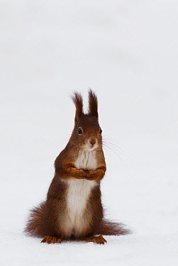 Eurasian Red Squirrel (Sciurus vulgaris) in snow, Vienna, Austria  -  Misja Smits/ Buiten-beeld