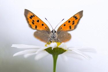 Small Copper (Lycaena phlaeas) butterfly, Netherlands  -  Misja Smits/ Buiten-beeld