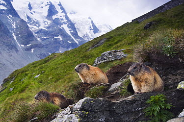 Alpine Marmot (Marmota marmota) group, Hohe Tauern National Park, Austria  -  Misja Smits/ Buiten-beeld