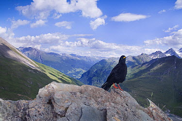 Yellow-billed Chough (Pyrrhocorax graculus), Hohe Tauern National Park, Austria  -  Misja Smits/ Buiten-beeld
