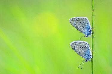 Mazarine Blue (Cyaniris semiargus) butterfly pair in an alpine meadow, Hohe Tauern National Park, Austria  -  Misja Smits/ Buiten-beeld