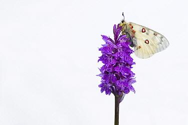 Small Apollo (Parnassius phoebus)butterfly on Common Spotted Orchid (Dactylorhiza fuchsii), Hohe Tauern National Park, Austria  -  Misja Smits/ Buiten-beeld