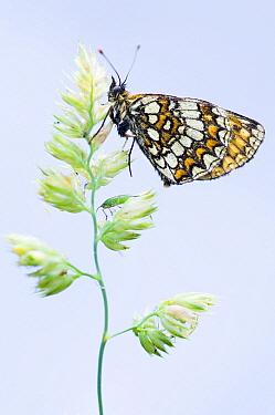 Heath Fritillary (Melitaea athalia) butterfly, Viroinval, Belgium  -  Misja Smits/ Buiten-beeld