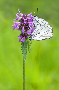 Black-veined White (Aporia crataegi) butterfly pair mating on Pedicularis sp. flower, Valle de Viroinval, Belgium  -  Misja Smits/ Buiten-beeld