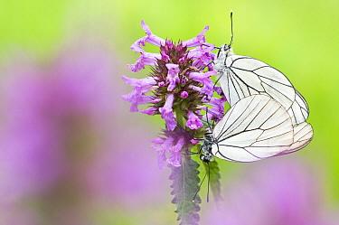 Black-veined White (Aporia crataegi) butterfly pair mating on Pedicularis sp. , Valle de Viroinval, Belgium  -  Misja Smits/ Buiten-beeld