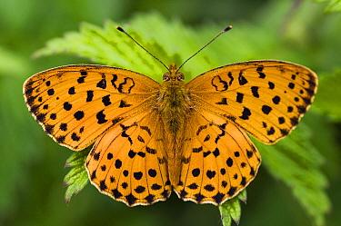 Marbled Fritillary (Brenthis daphne) butterfly, Viroinval, Belgium  -  Misja Smits/ Buiten-beeld