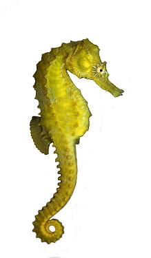 Short-snouted Seahorse (Hippocampus hippocampus), Netherlands  -  Jelger Herder/ Buiten-beeld