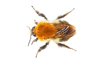 Brown Bumblebee (Bombus pascuorum), Nijmegen, Netherlands  -  Jelger Herder/ Buiten-beeld