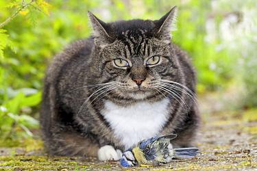 Domestic Cat (Felis catus), Nijmegen, Netherlands  -  Jelger Herder/ Buiten-beeld