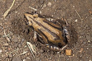 Senegal Running Frog (Kassina senegalensis), Hluhluwe Umfolozi Game Reserve, South Africa  -  Jelger Herder/ Buiten-beeld
