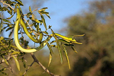 Natal Green Snake (Philothamnus natalensis), UMkhuze, South Africa  -  Jelger Herder/ Buiten-beeld