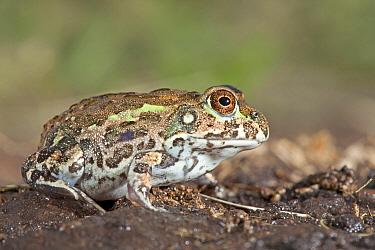 African Bullfrog(Pyxicephalus edulis), Hluhluwe Umfolozi Game Reserve, South Africa  -  Jelger Herder/ Buiten-beeld