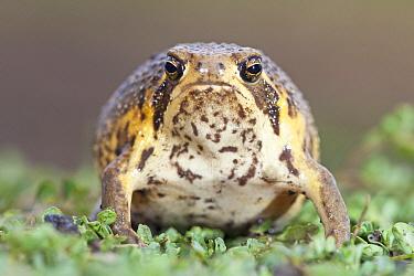 Bushveld Rain Frog (Breviceps adspersus), Hluhluwe Umfolozi Game Reserve, South Africa  -  Jelger Herder/ Buiten-beeld