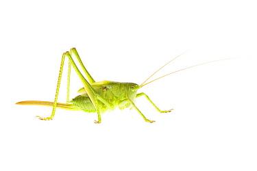 Great Green Bush Cricket (Tettigonia viridissima), Nijmegen, Netherlands  -  Jelger Herder/ Buiten-beeld