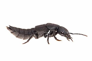 Devil's Coach-horse Beetle (Ocypus olens), Nijmegen, Netherlands  -  Jelger Herder/ Buiten-beeld