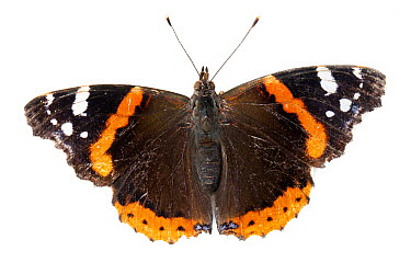 Red Admiral (Vanessa atalanta) butterfly, Broek op Langedijk, Netherlands  -  Jelger Herder/ Buiten-beeld