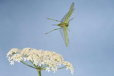 Great Green Bush Cricket (Tettigonia viridissima) flying, Arnhem, Netherlands  -  Paul van Hoof/ Buiten-beeld