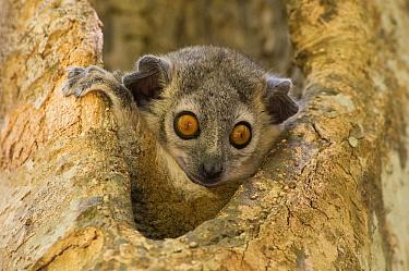 White-footed Sportive Lemur (Lepilemur leucopus) peering out of tree hollow, Berenty Reserve, Madagascar  -  Paul van Hoof/ Buiten-beeld