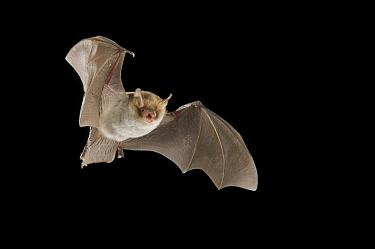 Natterer's Bat (Myotis nattereri), Belgium  -  Paul van Hoof/ Buiten-beeld