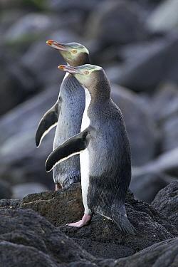 Yellow-eyed Penguin (Megadyptes antipodes) pair, Dunedin, New Zealand  -  Luc Hoogenstein/ Buiten-beeld