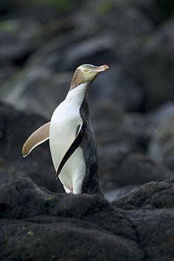 Yellow-eyed Penguin (Megadyptes antipodes), Dunedin, New Zealand  -  Luc Hoogenstein/ Buiten-beeld
