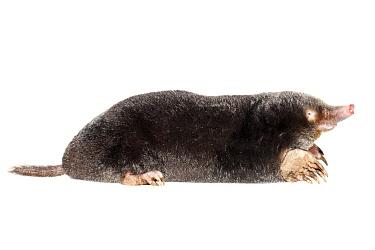 European Mole (Talpa europaea), Nijmegen, Netherlands  -  Jelger Herder/ Buiten-beeld