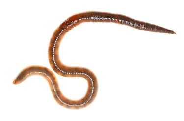 Common Earthworm (Lumbricus terrestris), Nijmegen, Netherlands  -  Jelger Herder/ Buiten-beeld