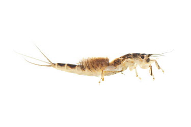 Dark Mayfly (Ephemera vulgata) larvae, Nijmegen, Netherlands  -  Jelger Herder/ Buiten-beeld